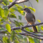Olive winged bulbul, Jelutong Tower