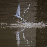 Little Tern making a big splash! Sungei Tampines
