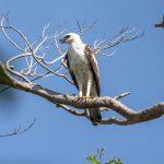 Changeable Hawk Eagle (light morph), Tampines