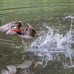 Mandarin Duck in flight
