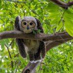 Spotted Wood Owl (juvie), Pasir Ris Park