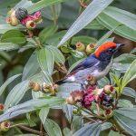 Male Scarlet backed Flowerpecker, Goldhill Avenue