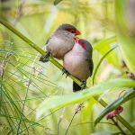 Common Waxbills, Bishan AMK Park