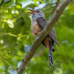 Plaintive Cuckoo, Jurong Lake Garden