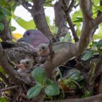 Pink Necked Green Pigeon with chicks in nest