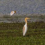 Cattle egrets, Marina East Drive