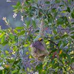 Baya Weaver Nest, Sungei Buloh Wetland Reserve