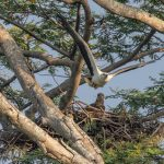 A juvenile White bellied Sea Eagle watches as its parent takes off in flight