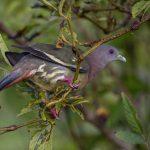 Pink Necked Green Pigeon, Jurong Lake Garden