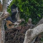 Juvenile White bellied sea eagles, Fort Canning Park