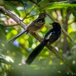 Juvenile (L) and Adult (R) White Rumped Sharma, Central Catchment Reserve