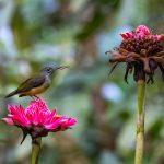 Little Spiderhunter, Thomson Nature Park