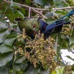 Livingstone's Turaco, Orchid Drive