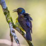 Brown-throated Sunbird, Pasir Ris Park