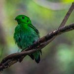 Green Broadbill, Pulau Ubin