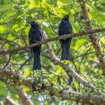 Greater Racket-tailed Drongos, Jalan Asas