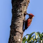 Banded Woodpecker feeding its chick