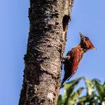 Banded Woodpecker, Upper Seletar Reservoir