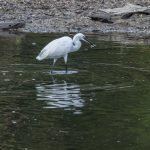 Little Egret, Sungei Buloh Wetlands Reserve