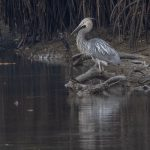 Great-billed Heron, Sungei Buloh Wetlands Reserve