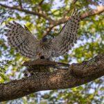 Male Crested Goshawk mounts the female