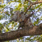Mating Crested Goshawks