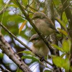 Long tailed shrike fledglings,  Boon Lay Way