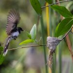 Malaysian Pied Fantail flying into the nest to feed its chick